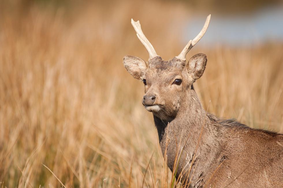 Sika Deer-1-3.jpg