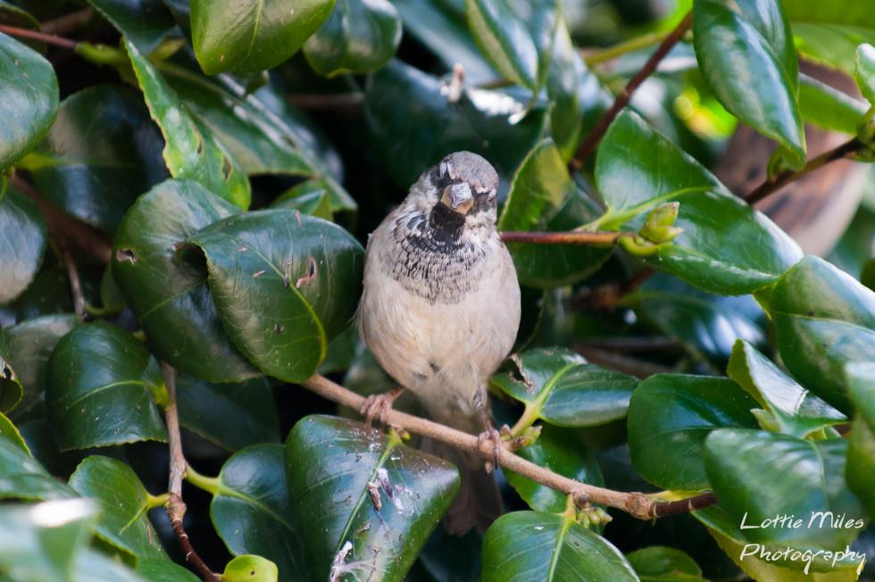 MR Sparrow.jpg