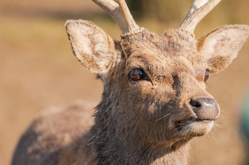 Sika Deer-1.jpg