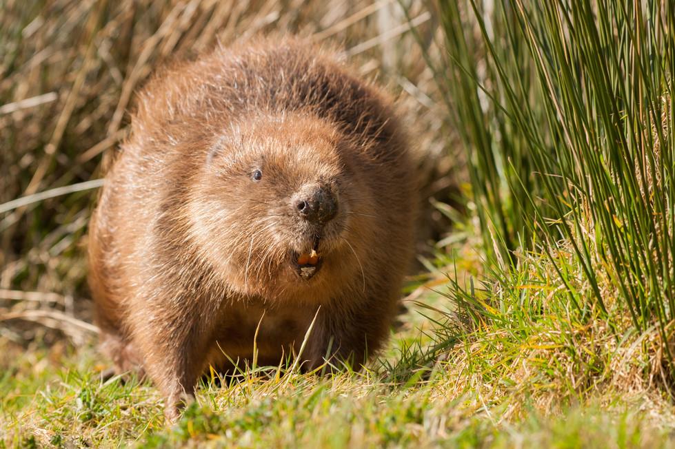 Beaver-1-4.jpg