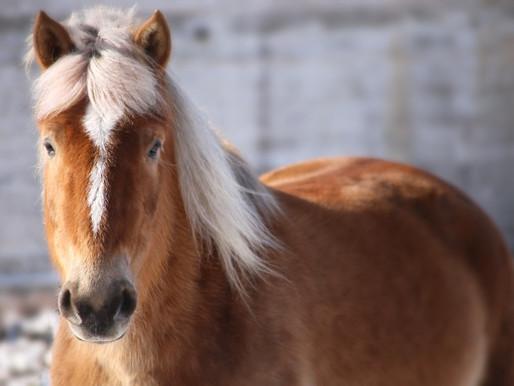 Blogin kirjoittajan hevoset