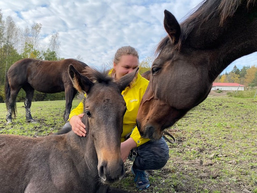 Kokemuksia omatoimisesta hevoshieronnasta - Satu Määttänen