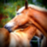 Hevoset hoitavat toisiaan