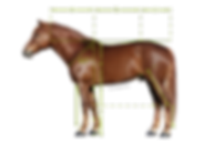 mittasuhteet hevoshieronta.net