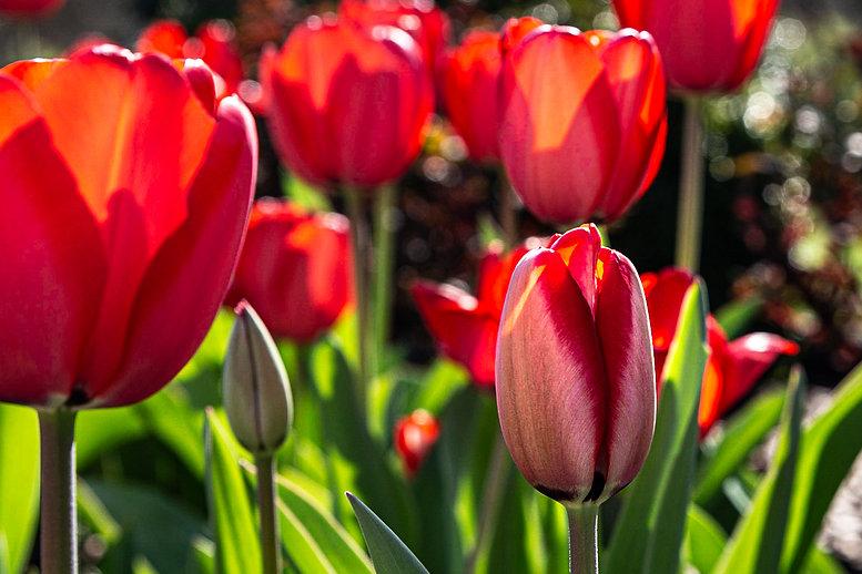 2020 3-25 Red Tulips FS.jpg