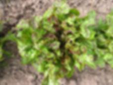 Flashy Green Butter Oak.JPG