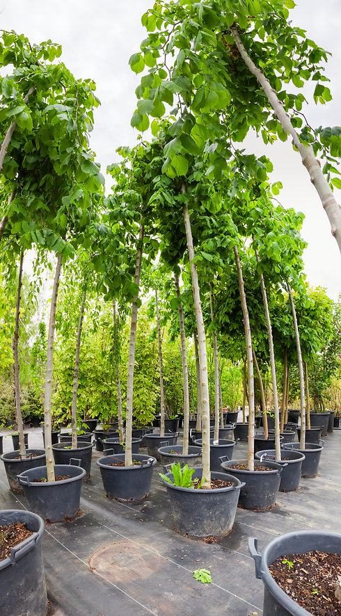 Young nut trees in plastic pots on tree