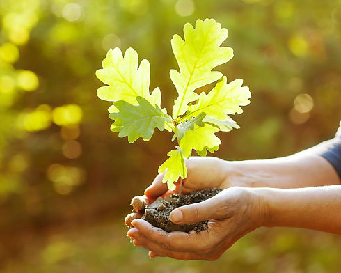 Oak sapling in hands. The leaves of rays