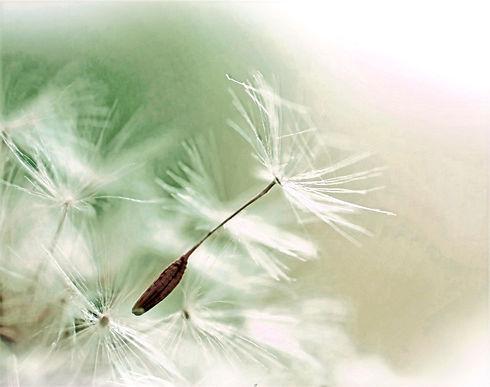 Dandelion Parachute Seed_edited.jpg