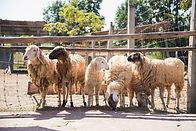 group-sheep-farm_39704-1341.jpg