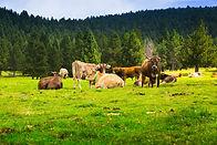 few-cows-meadow_1398-5043.jpg