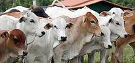 cattle-pasture-brazil_74436-882.jpg