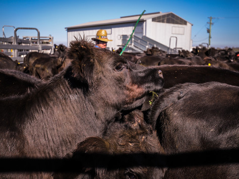 Sorry Steak Lovers, Australia's Running Out of Cows