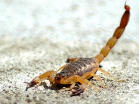 Verão: medidas de combate ao escorpião