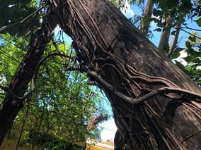 Soluções para problemas com eucaliptos