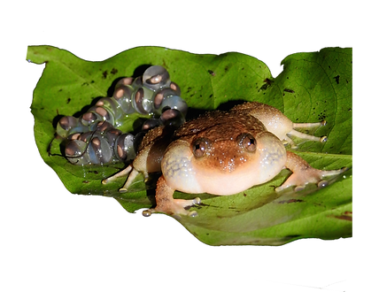 BOMBAY NIGHT FROG.png
