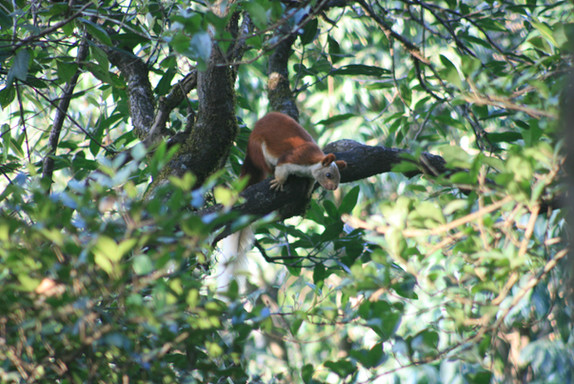 Giant Squirrel - flagship species for Haritaki Value chain