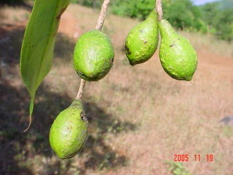 Terminalia chebula fruits