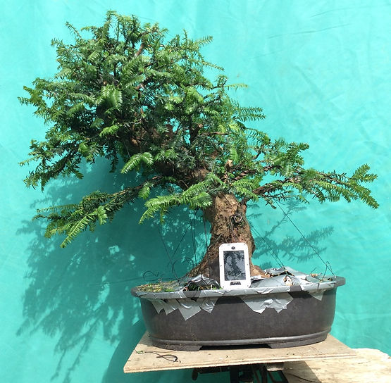 Fantastic Summer Growth Yamadori Yew Material Bonsai United Kingdom Wiring Digital Resources Antuskbiperorg