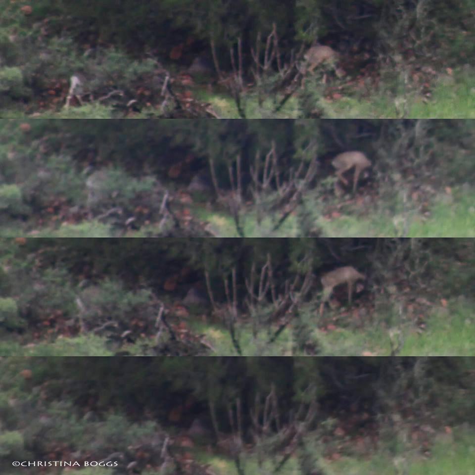 bedding coues whitetail bucks arizona