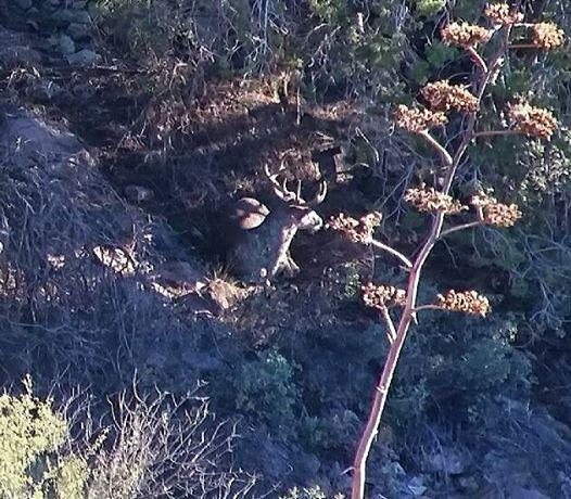 Coues Deer Hunting Arizona