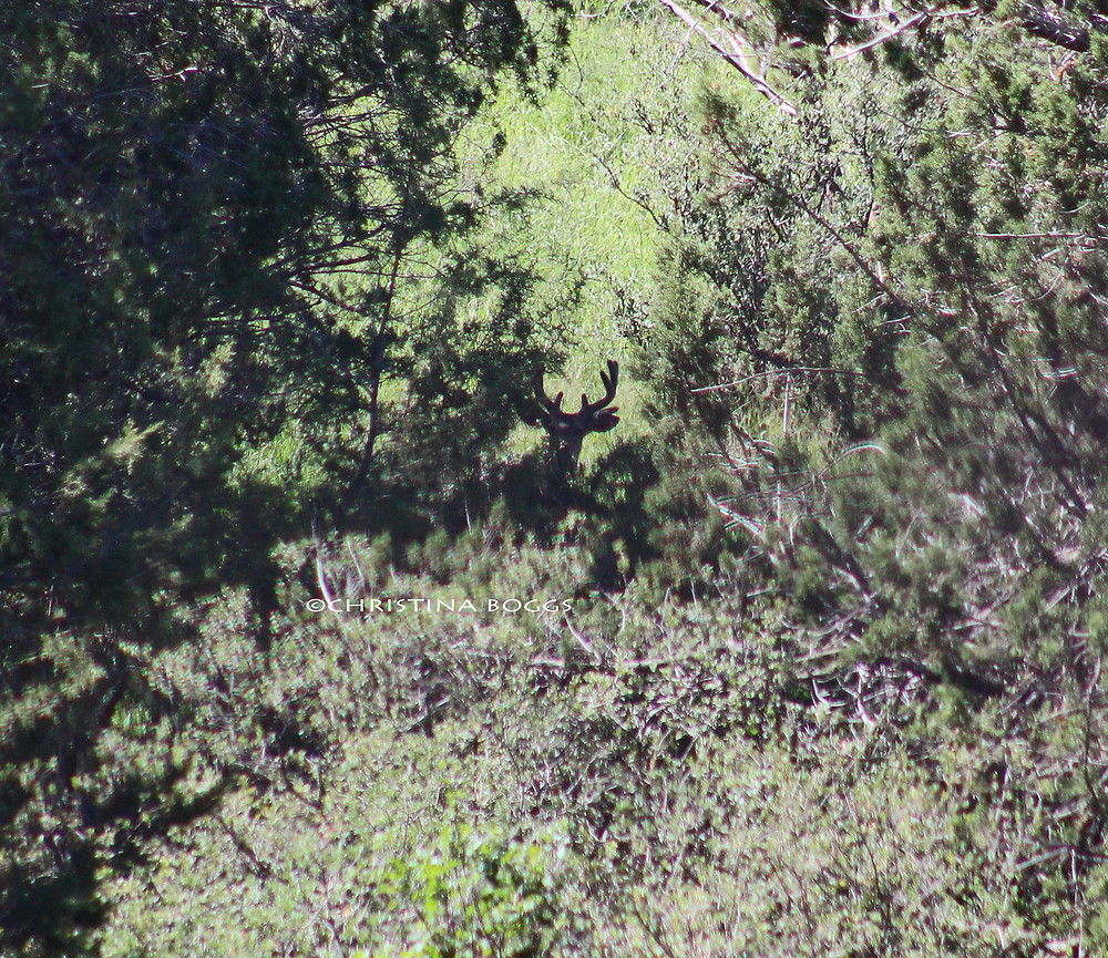 coues whitetail deer hunting velvet arizona hunting guide archery bow