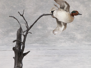 2019 Wisconsin Taxidermy Association Masters Division Entry