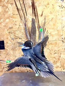 Flaring Pintail Drake Mount