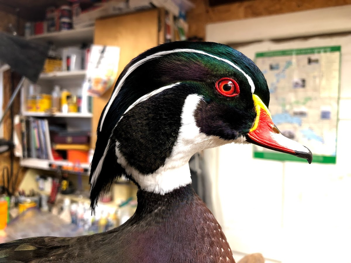 Wood Duck Drake Bird Zone Taxidermy