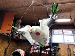 Back Pedal Snow Goose