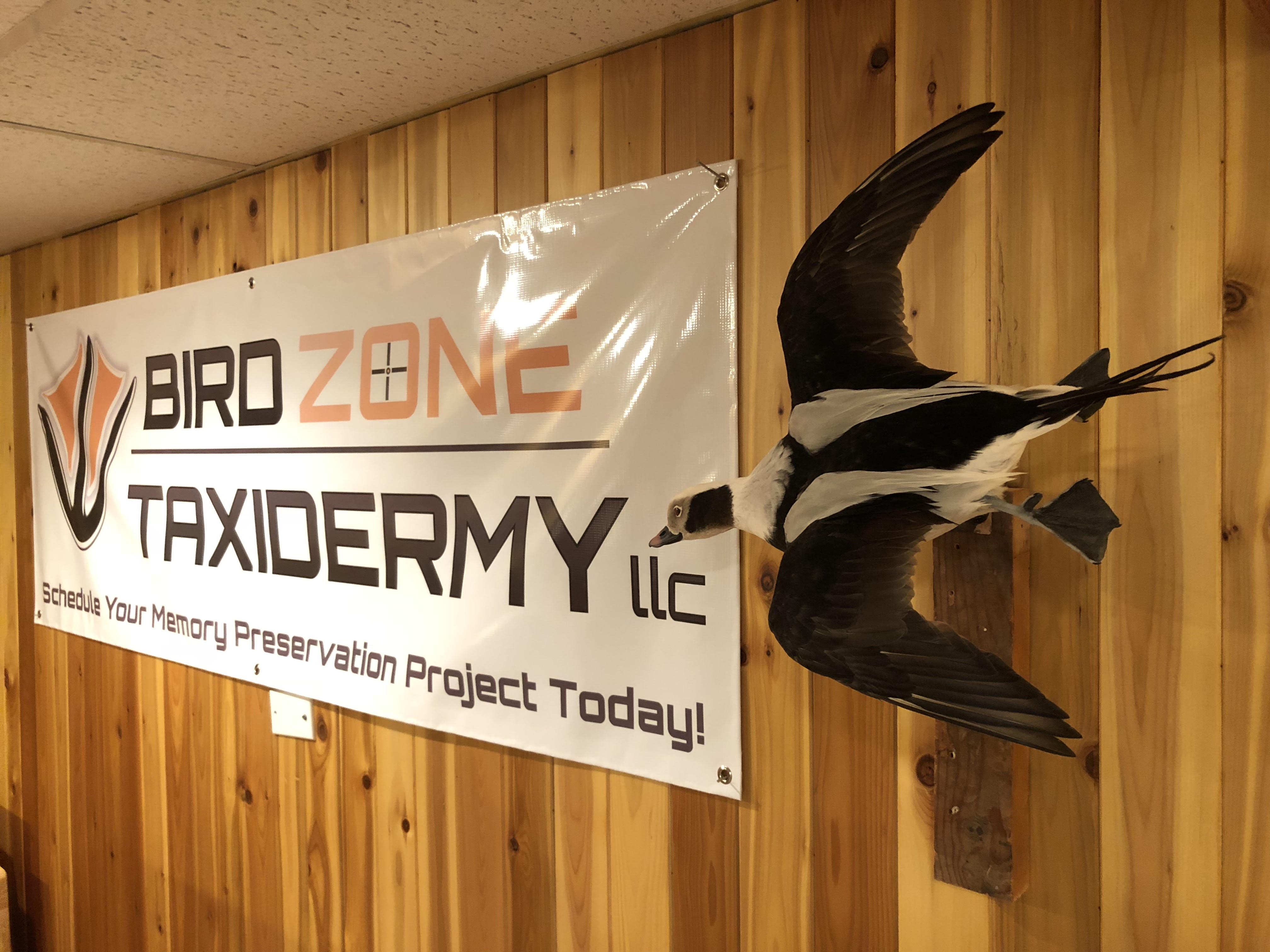 Old Squaw Taxidermy Flying Fast