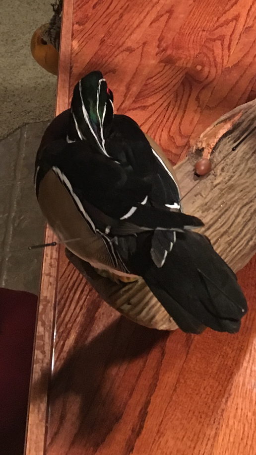 Wood Duck Drake Top View