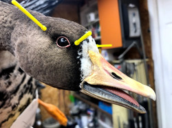 White Fronted Goose Taxidermy