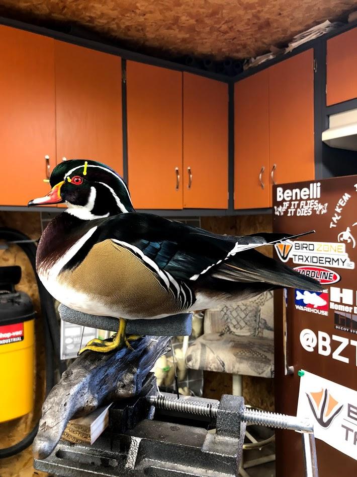 Wood Duck 7-2018