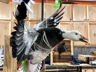 Open Mouth Option On Waterfowl Taxidermy Mounts