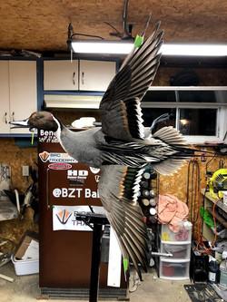 Drake Pintail Mount Flying Bird Zone