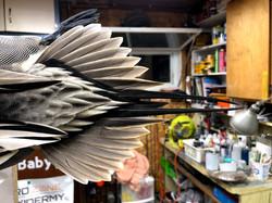 Pintail Drake Tail Mount Taxidermy
