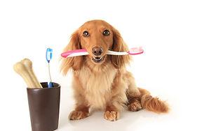 Dachshund dog holding a toothbrush..jpg