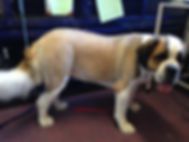 St Bernard After Grooming (Giant Breed)