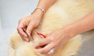 Vet treating Golden Retriever for fleas.