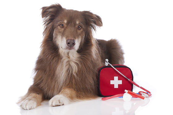Australian shepherd dog with first aid k