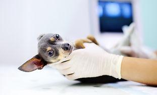 Dog having ultrasound scan in vet office