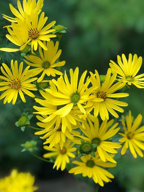 Cup plant - Silphinium perfoliatum
