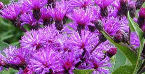 Ironweed, Veronica fasiculata