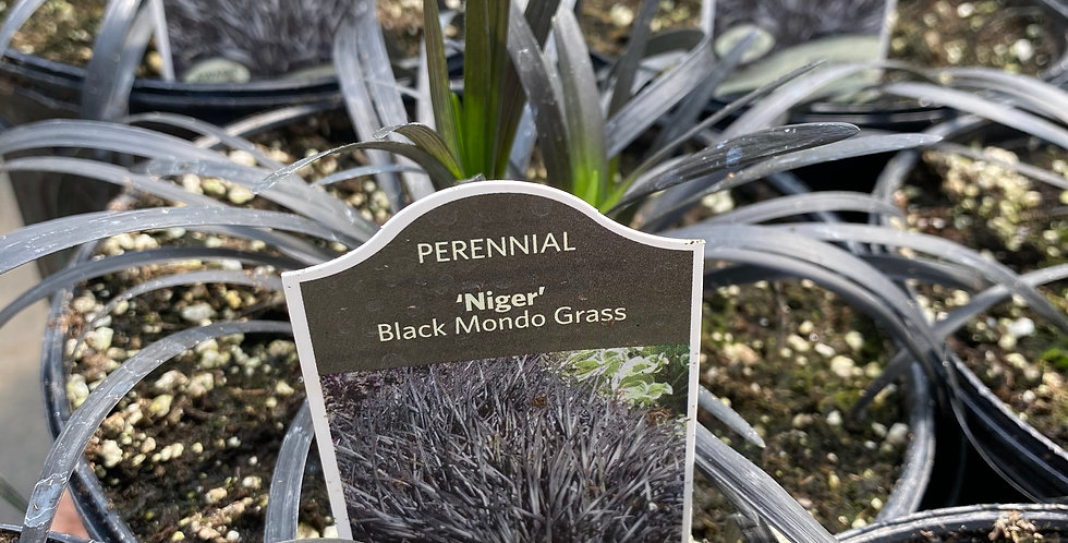 OPHIOPOGON (BLACK MONDO GRASS)