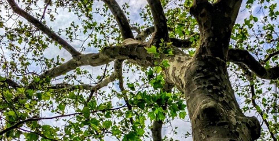 American Sycamore Tree, Platanus Occidentalis
