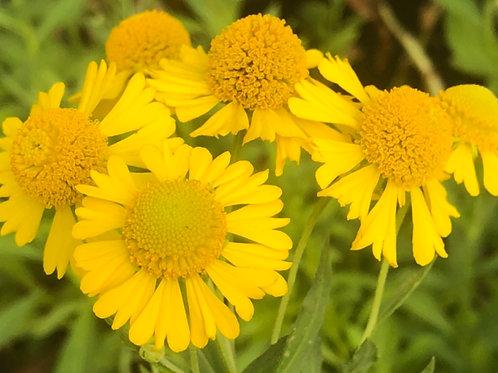 Sneezeweed - Helenium autumnale