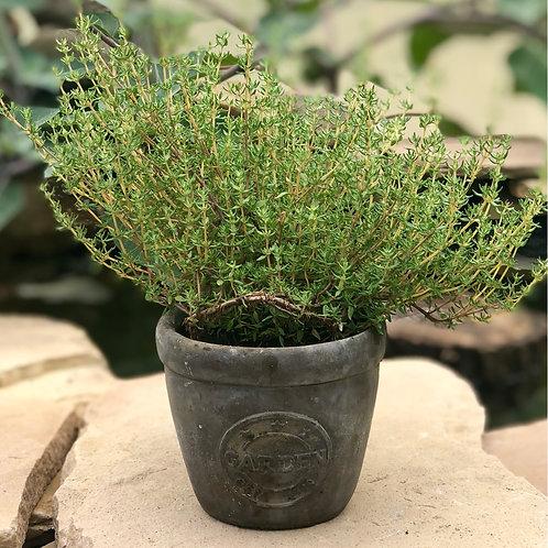 Thyme planter