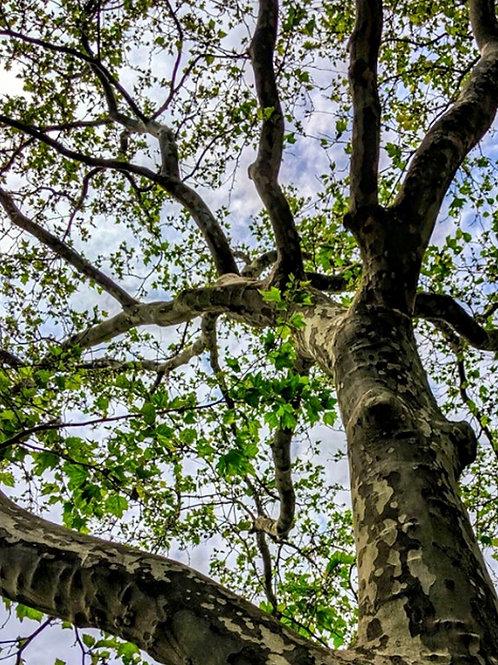 American Sycamore tree - Platanus occidentalis