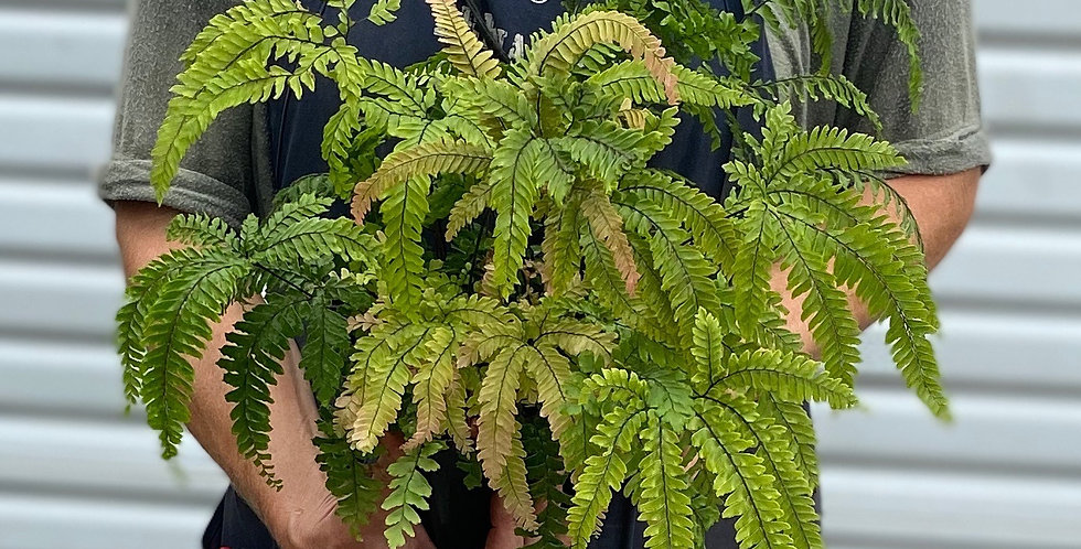 Rosy Madenhair Fern